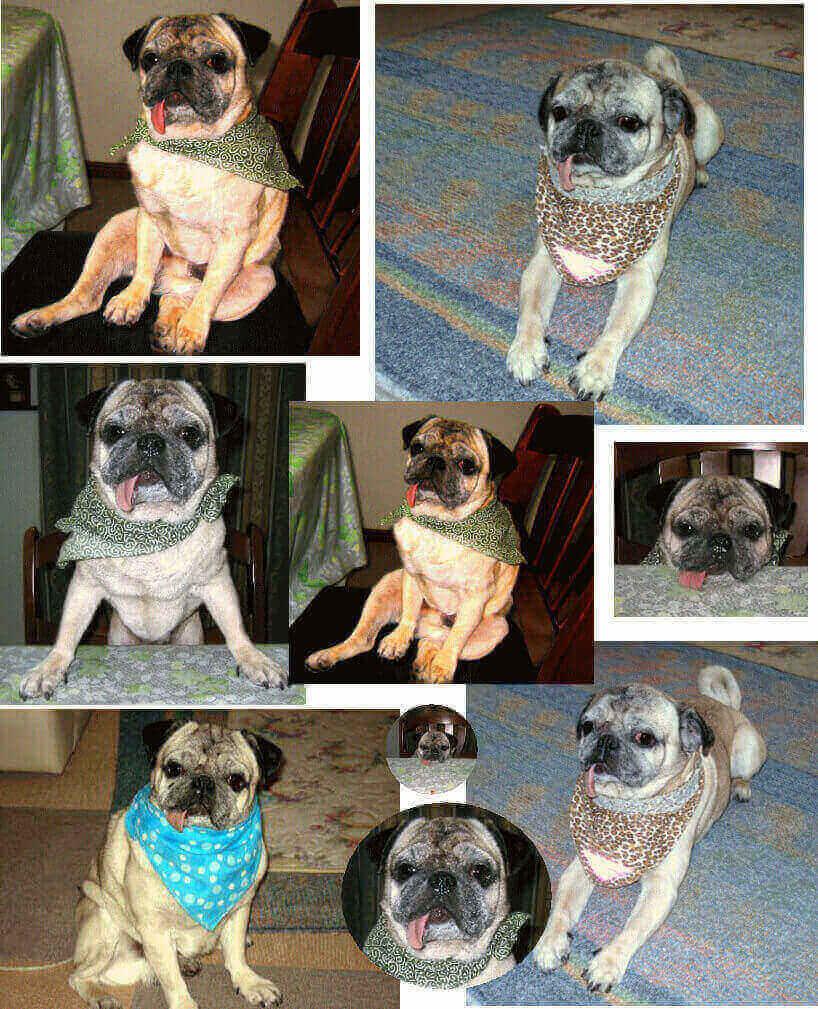 愛犬パグ犬の画像